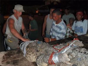 Das Krokodil verschnürt auf einem Pickup Truck.